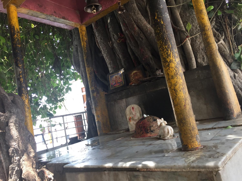 Banyan Tree - Kurukshetra, Haryana, India - 2017, mayo